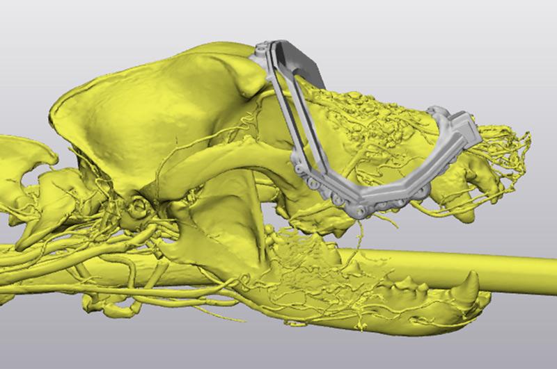 3D digital model of Sheba's skull